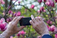 Hände des Touristen, der auf der blühenden Magnolie des Smartphone fotografiert Stockbilder
