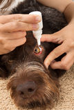 Hände, die Augentropfen zum Hund tropfen stockfotos