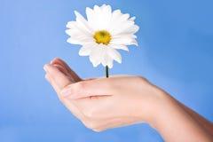 Hände, die Blume anhalten lizenzfreies stockfoto