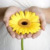 Hände, die Blume anhalten Stockfoto