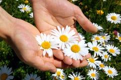 Hände, die ein Gänseblümchen anhalten Stockfotos