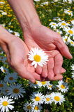 Hände, die ein Gänseblümchen anhalten Stockbilder