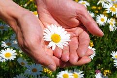 Hände, die ein Gänseblümchen anhalten Lizenzfreie Stockfotos