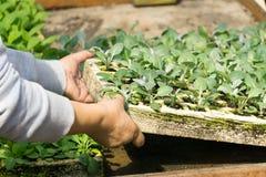 Hände, die eine grüne junge Anlage anhalten Lizenzfreies Stockfoto