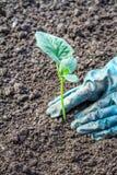 Hände, die eine kleine Jungpflanze pflanzen Gartenarbeit als Hobby Stockbild