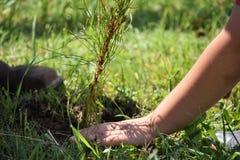 Hände, die einen Baum pflanzen Stockfotos