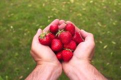 Hände, die einige rote Erdbeeren halten lizenzfreies stockbild