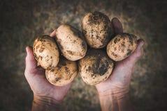 Hände, die frische Kartoffeln halten Lizenzfreies Stockfoto