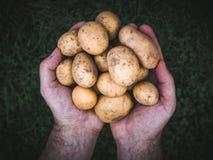 Hände, die frische organische Kartoffeln halten Stockfoto