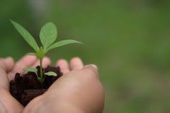 Hände, die Grünpflanzeschößling halten Stockfotografie