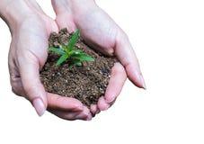Hände, die Jungpflanze mit Boden halten Stockfotos
