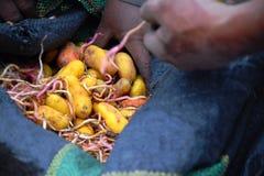 Hände, die Kartoffeln von einer blauen Kartoffeltasche ergreifen lizenzfreie stockbilder