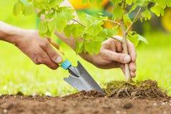 Hände, die kleinen Baum mit Wurzeln in einem Garten pflanzen Lizenzfreie Stockfotografie