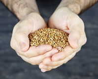 Hände, die Korn anhalten Stockfoto