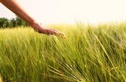 Hände, die Korn berühren stockfotos