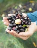 Hände, die neue Oliven anhalten Stockfotos