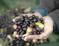 Hände, die neue Oliven anhalten Stockbilder