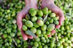 Hände, die Oliven anhalten Stockfotos