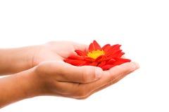 Hände, die rote Blume anhalten Stockbild
