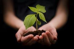 Hände, die Schätzchenanlage oder Wachstum und Entwicklung anhalten