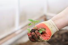 Hände, die schöne purpurrote Basilikumanlagen mit Boden und Wurzeln halten Sie sind zum Pflanzen im Boden in a bereit Lizenzfreie Stockbilder