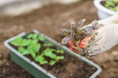 Hände, die schöne purpurrote Basilikumanlagen mit Boden und Wurzeln halten Sie sind zum Pflanzen im Boden in a bereit Stockfotos