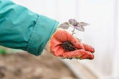 Hände, die schöne purpurrote Basilikumanlagen mit Boden und Wurzeln halten Sie sind zum Pflanzen im Boden in a bereit Lizenzfreie Stockfotos