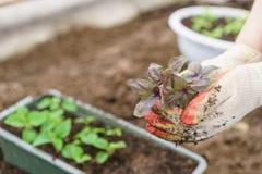 Hände, die schöne purpurrote Basilikumanlagen mit Boden und Wurzeln halten Sie sind zum Pflanzen im Boden in a bereit Stockfoto