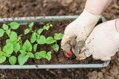 Hände, die schöne purpurrote Basilikumanlagen mit Boden und Wurzeln halten Sie sind zum Pflanzen im Boden in a bereit Stockbilder