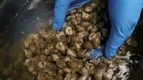 Hände, die Seeschnecken waschen stock footage