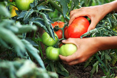 Hände, die Tomaten aufheben Lizenzfreie Stockfotografie