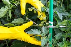 Hände, die Tomaten binden lizenzfreies stockbild