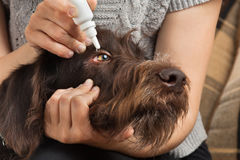 Hände, die Tropfen zu den Augen des Hundes tropfen Lizenzfreies Stockfoto