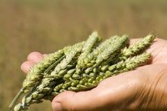 Hände, die Weizen anhalten Stockfotografie