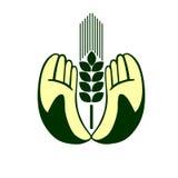 Hände, die Weizenohren anhalten Stockfoto