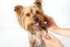 Hände, die Yorkshire-Hund waschen. Lizenzfreie Stockbilder