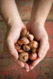 Hände, die Zwiebeln anhalten stockbilder