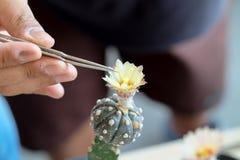 Hände drücken kleine Zangen für Kaktusbestäubung zusammen Stockfotos
