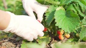 Hände einer Frau in den Gummihandschuhen Erdbeeren im Garten sammelnd ernte stock footage