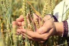 Hände eines Landwirts, der Weizenähren auf dem Gebiet hält Lizenzfreie Stockfotos