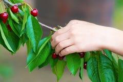 Hände eines Mannes, der einen Kirschbaum in einem Baum auf einem Baum auswählt Lizenzfreie Stockbilder