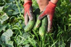 Hände mit den Handschuhen, die frische ausgewählte Gurken halten Stockfoto