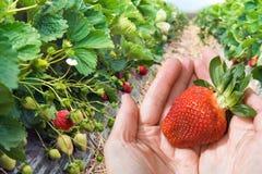 Hände mit der Erdbeerenahaufnahme Stockfoto