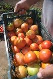 Hände mit Tomaten Lizenzfreies Stockfoto