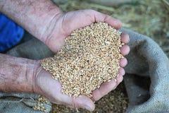 Hände mit Weizen Stockbild