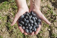 Hände nehmen eine Handvoll schwarze Oliven Lizenzfreie Stockbilder