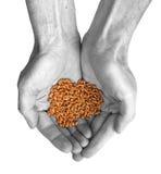 Hände und Weizen Stockfotos