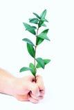 Hände und Zweig des Mannes mit Grün Stockfoto