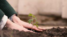 Händer av bonden som växer och fostrar trädet som växer på fertil jord med gräsplan- och gulingbakgrund som fostrar behandla som  lager videofilmer
