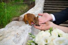Händer av brudgummen och bruden med ekorren Arkivfoto